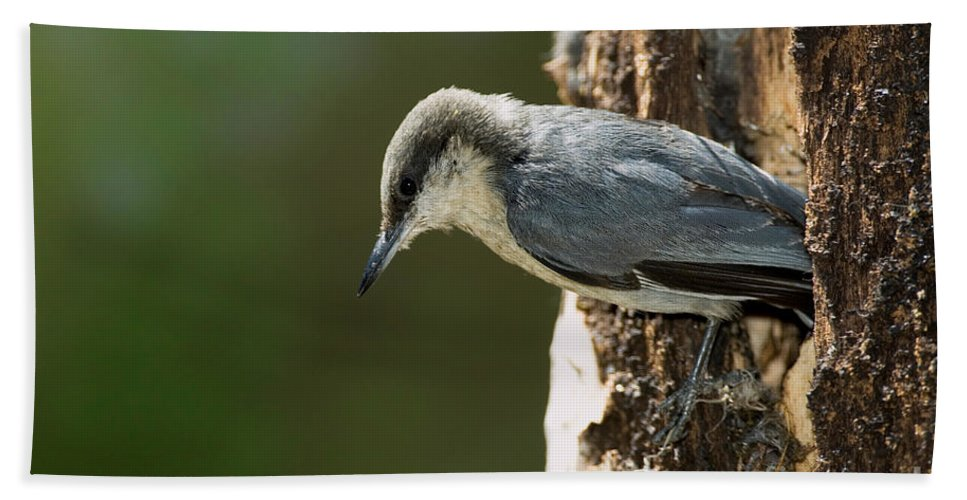 Fauna Hand Towel featuring the photograph Pygmy Nuthatch by Anthony Mercieca