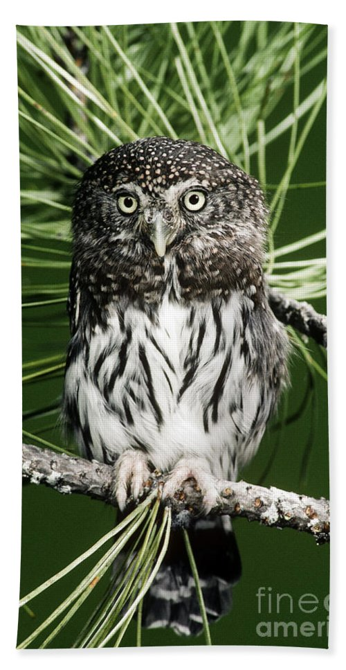 Pygmy Hand Towel featuring the photograph Pygmy Owl by Anthony Mercieca