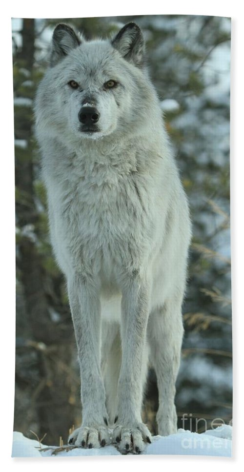 Gray Wolf Hand Towel featuring the photograph Queen Of The West by Adam Jewell