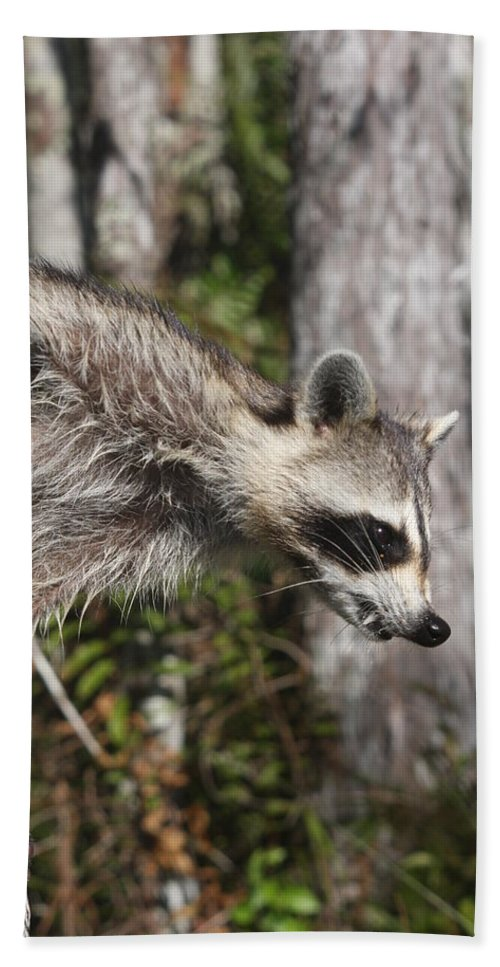 Raccoon Hand Towel featuring the photograph Raccoon by Christiane Schulze Art And Photography
