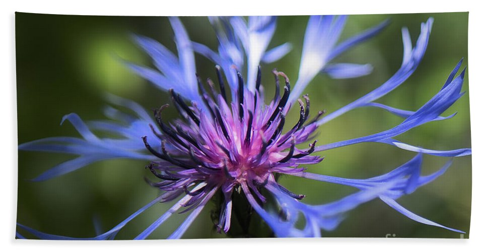 Bachelor's Button Bath Sheet featuring the photograph Radiant Flower by Belinda Greb