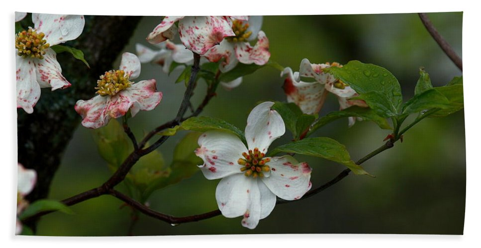Dogwood Bath Sheet featuring the photograph Rainy Day Dogwood by Douglas Stucky