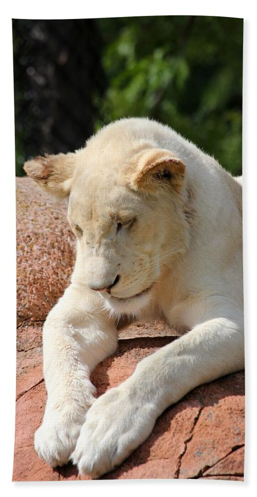 Animal Hand Towel featuring the photograph Rare Female White Lion by Davandra Cribbie