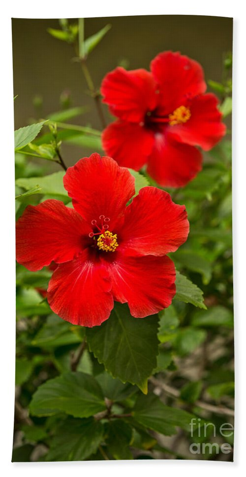 Red Beautiful Hibiscus Flowers In Bloom On The Island Of Maui