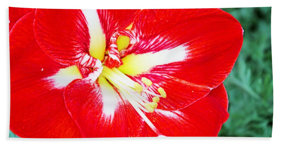 Flowers Hand Towel featuring the photograph Red Amaryllis by Rich Walter