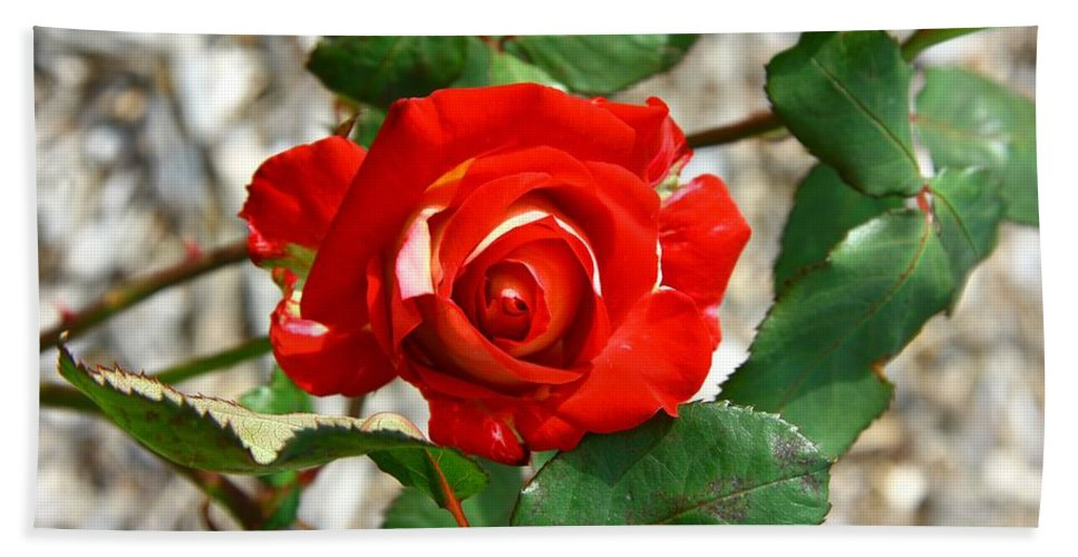 Red Bath Sheet featuring the photograph Red And Cream Rose by Darren Burton