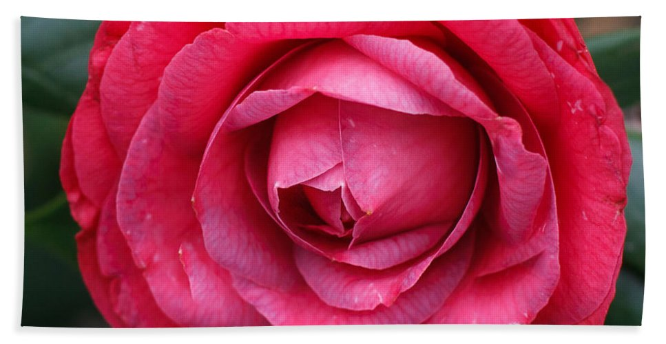 Florida Hand Towel featuring the photograph Red Camellia by Jane Luxton