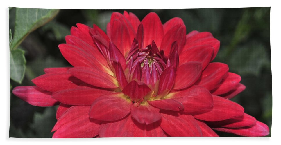 Flower Bath Sheet featuring the photograph Red Dahlia by Terri Winkler