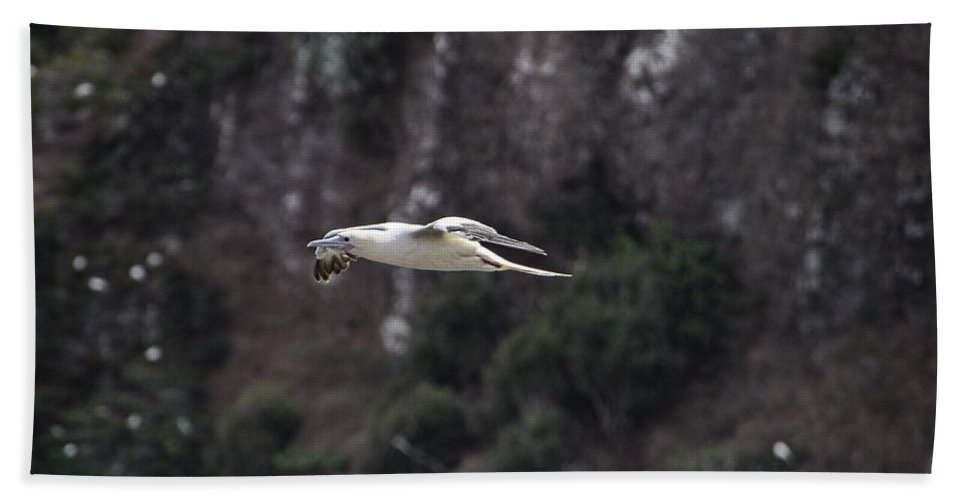 Red Footed Booby Hand Towel featuring the photograph Red Footed Booby In Flight by Douglas Barnard