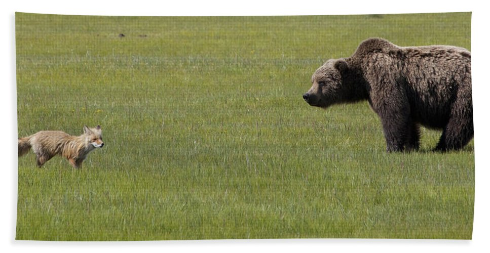 Mp Hand Towel featuring the photograph Red Fox And Grizzly Bear by Matthias Breiter