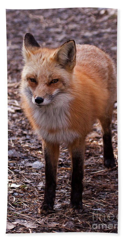 Colorado Hand Towel featuring the photograph Red Fox In Prospect Park by Fred Stearns