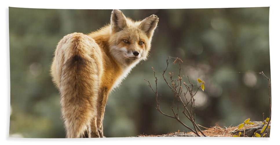 Big Bath Sheet featuring the photograph Red Fox In The Sunset by Mircea Costina Photography