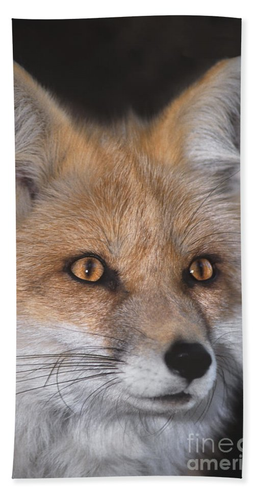 Red Fox Hand Towel featuring the photograph Red Fox Portrait Wildlife Rescue by Dave Welling