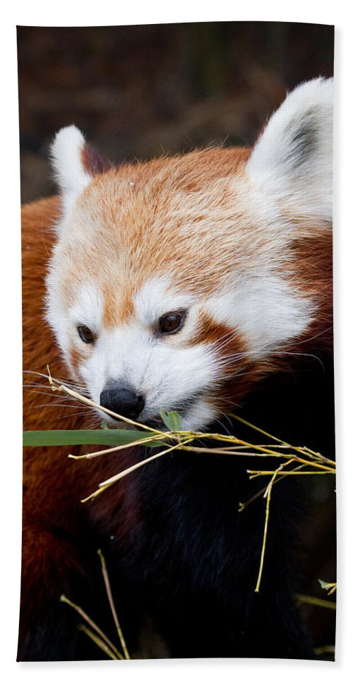 Animal Bath Towel featuring the photograph Red Panda Ailurus Fulgens In Captivity by David Kenny