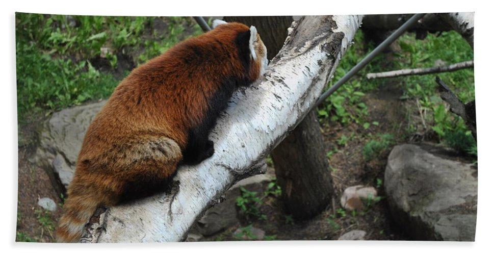 Bath Sheet featuring the photograph Red Panda by Jim Hogg