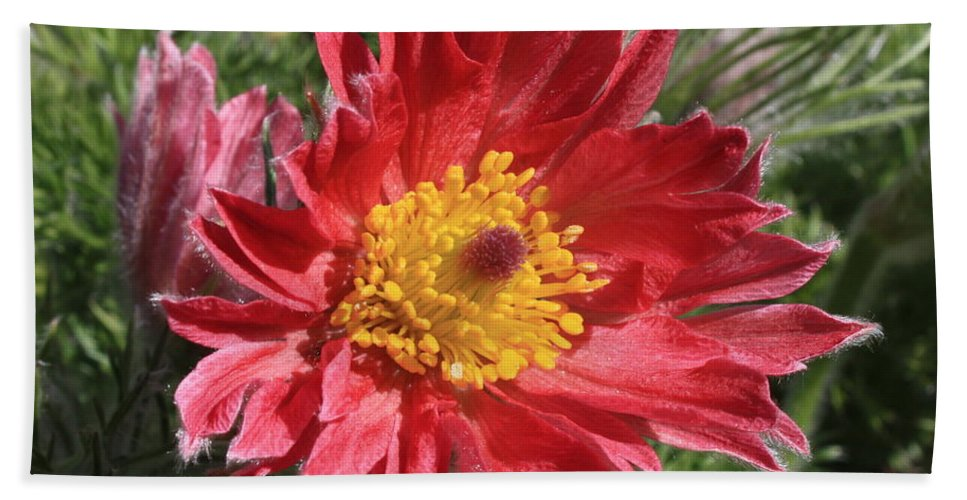 Red Pasque Flower Hand Towel featuring the photograph Red Pasque Flower by Carol Groenen