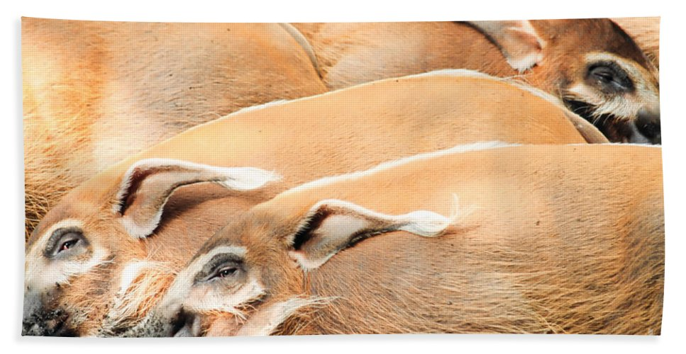 Potamochoerus Porcus Hand Towel featuring the photograph Red River Hogs Potamochoerus Porcus by Stephan Pietzko