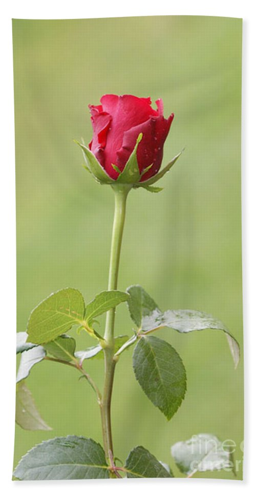 Rose Bath Sheet featuring the photograph Red Rose Bud 1 by Carol Lynch