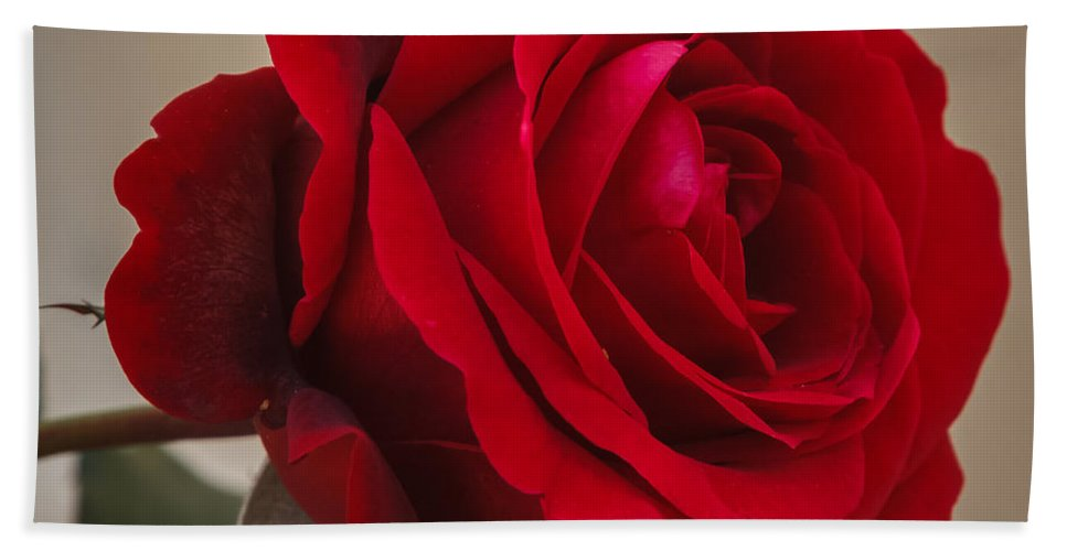 Florida Bath Sheet featuring the photograph Red Rose by Jane Luxton