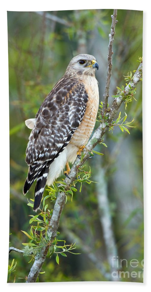 Animal Hand Towel featuring the photograph Red-shouldered Hawk by Anthony Mercieca