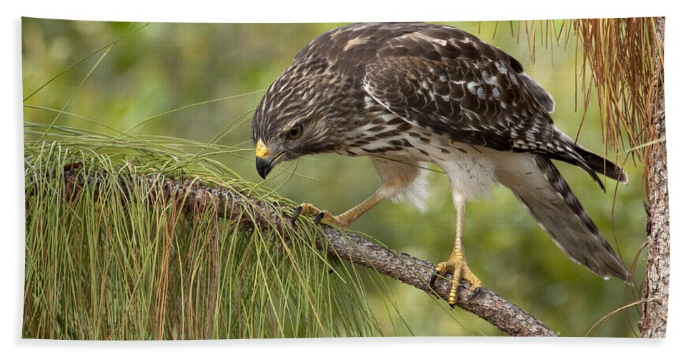 Red-shouldered Hawk Bath Sheet featuring the photograph Red Shouldered Hawk Photo by Meg Rousher