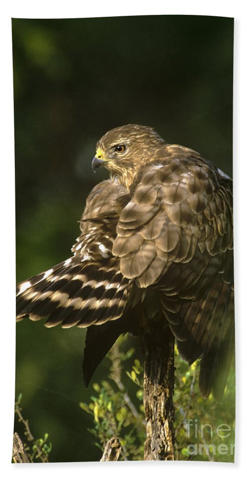 Red-shouldered Hawk Hand Towel featuring the photograph Red-shouldered Hawk Wild Texas by Dave Welling