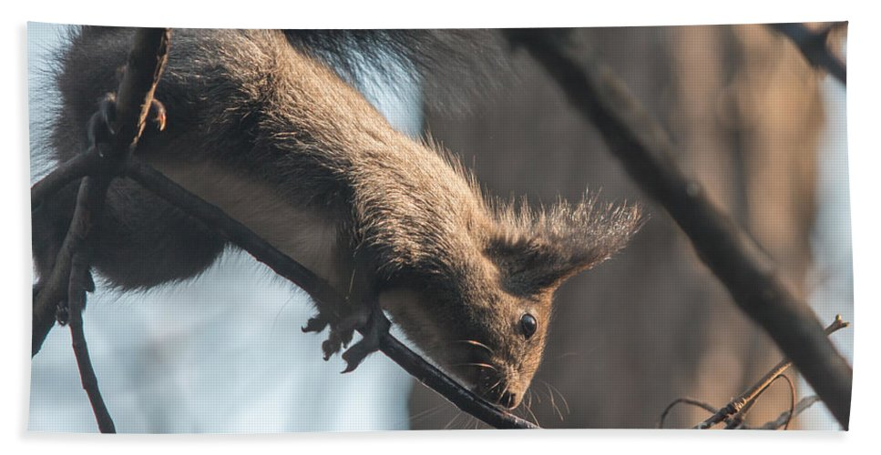 Sciurus Vulgaris Hand Towel featuring the photograph Red Squirrel Licking Dew Droplets by Jivko Nakev