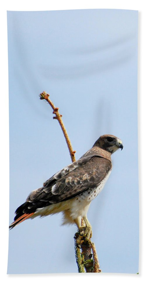 Red Tail Hawk Bath Sheet featuring the photograph Red Tail Hawk by Crystal Wightman
