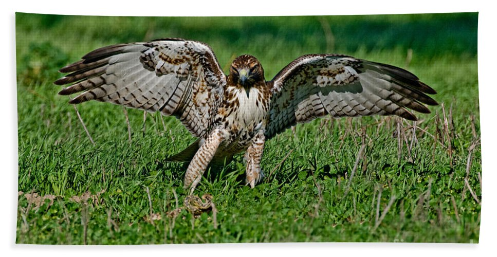 Animal Hand Towel featuring the photograph Red-tailed Hawk & Gopher Snake by Anthony Mercieca