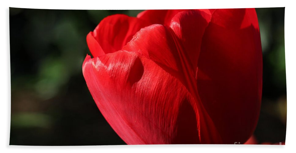 Flower Hand Towel featuring the photograph Red Tulip by Todd Blanchard