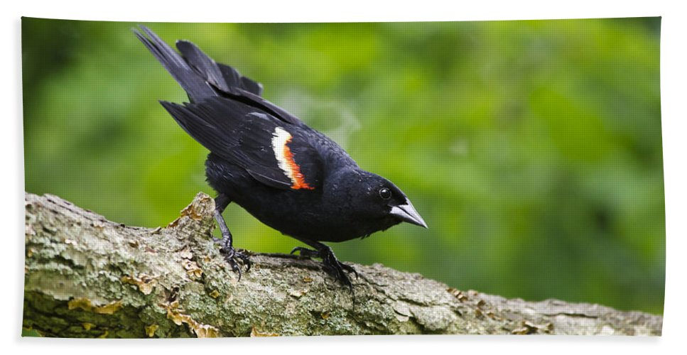Bird Bath Sheet featuring the photograph Red Winged Blackbird by Christina Rollo