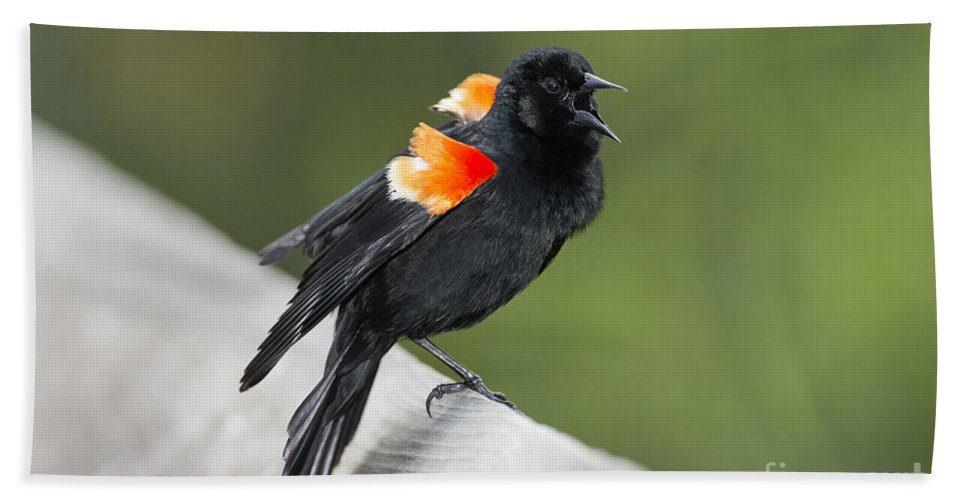 Red-winged Blackbird Hand Towel featuring the photograph Red-winged Blackbird Display by Anthony Mercieca