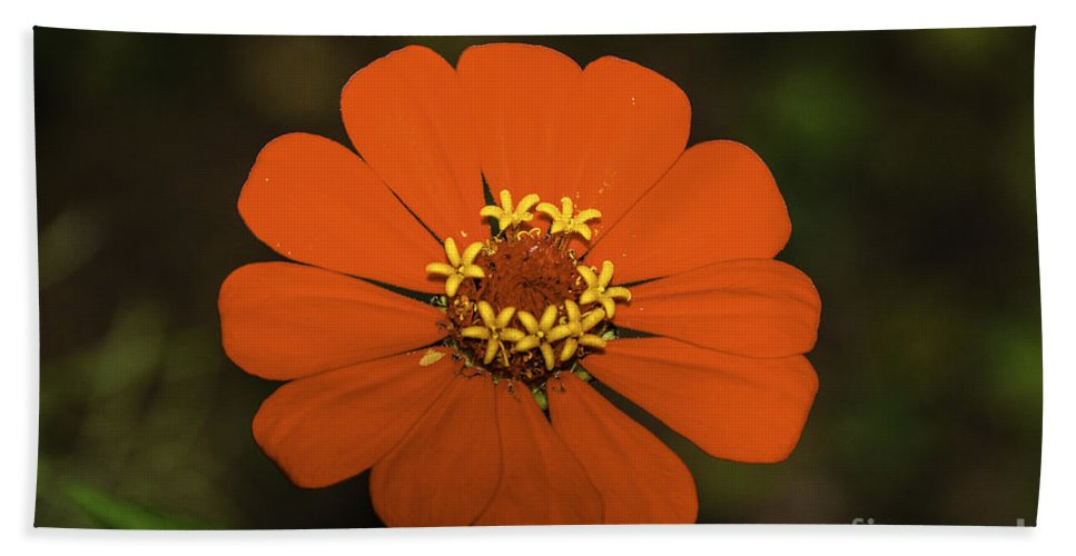 Background Hand Towel featuring the photograph Red Zinnia by Mary Carol Story