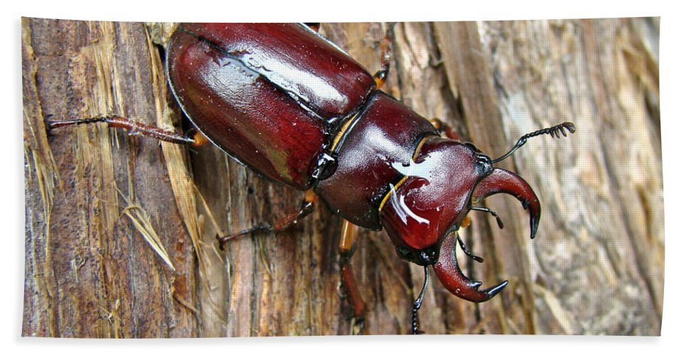 Beetle Hand Towel featuring the photograph Reddish-brown Stag Beetle - Lucanus Capreolus by Mother Nature