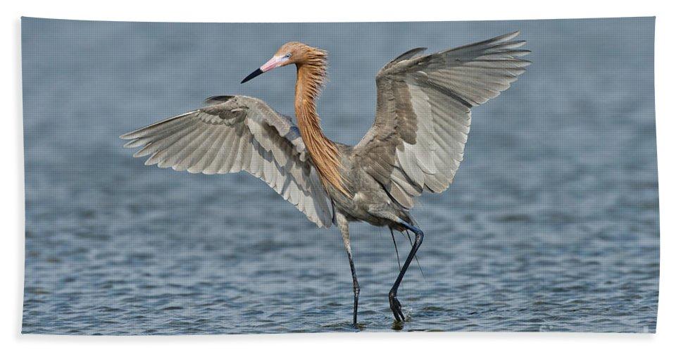 Reddish Egret Hand Towel featuring the photograph Reddish Egret Fishing by Anthony Mercieca