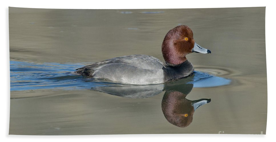 Redhead Hand Towel featuring the photograph Redhead Drake by Anthony Mercieca