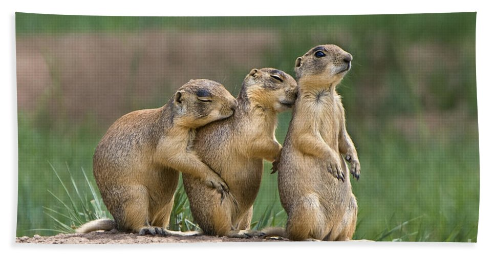 Utah Prairie Dogs Bath Sheet featuring the photograph Relaxing Utah Prairie Dogs Cynomys Parvidens Wild Utah by Dave Welling