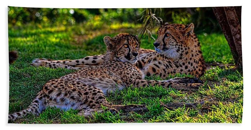 California Hand Towel featuring the photograph Resting Cheetahs by Tommy Anderson