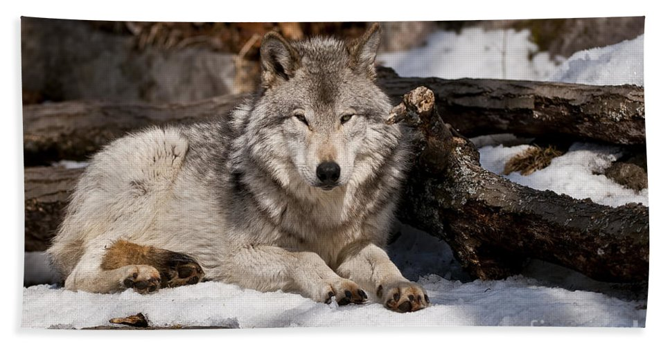 Timber Wolf Photography Bath Sheet featuring the photograph Resting Timber Wolf by Wolves Only