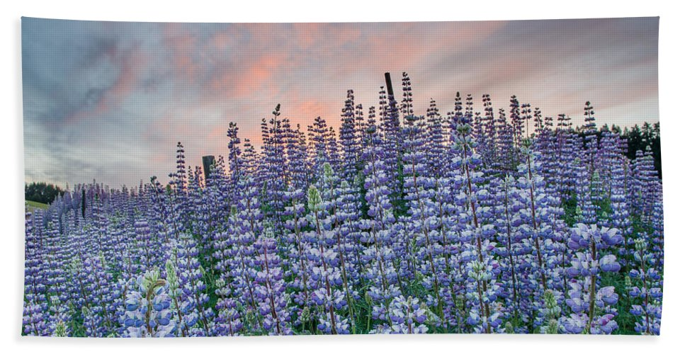Lupine Bath Sheet featuring the photograph Ridge Of Lupine At Dawn by Greg Nyquist