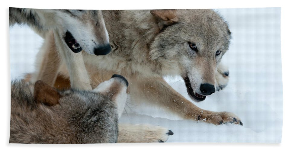 Wolves Bath Sheet featuring the photograph Right Of Passage by Sandra Bronstein