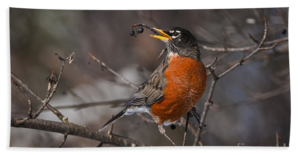 Robin Hand Towel featuring the photograph Robin Pictures 100 by World Wildlife Photography