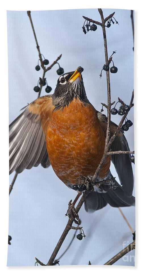 Robin Hand Towel featuring the photograph Robin Pictures 84 by World Wildlife Photography