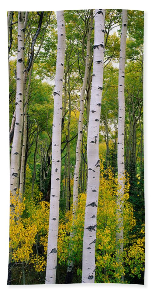 Photography Bath Sheet featuring the photograph Rocky Mountain Aspen Forest by Panoramic Images
