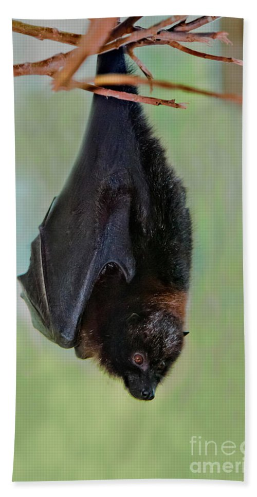 Animal Hand Towel featuring the photograph Rodrigues Flying Fox by Anthony Mercieca