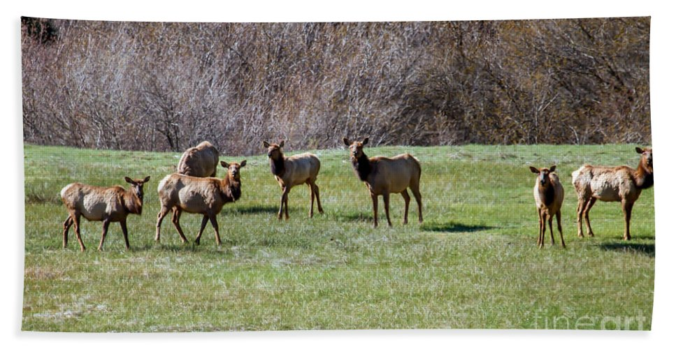Animals Hand Towel featuring the photograph Roosevelt Elk by Robert Bales
