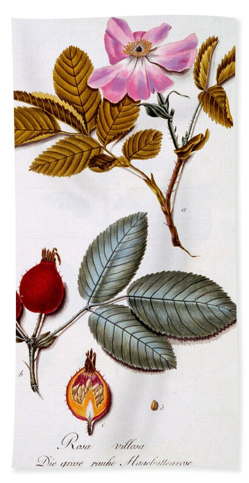 Otany Hand Towel featuring the painting Rosa Villosa by German School