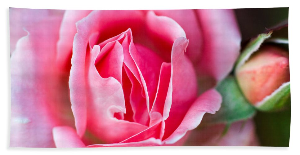 Rose Bath Sheet featuring the photograph Rose And Bud by Gaurav Singh