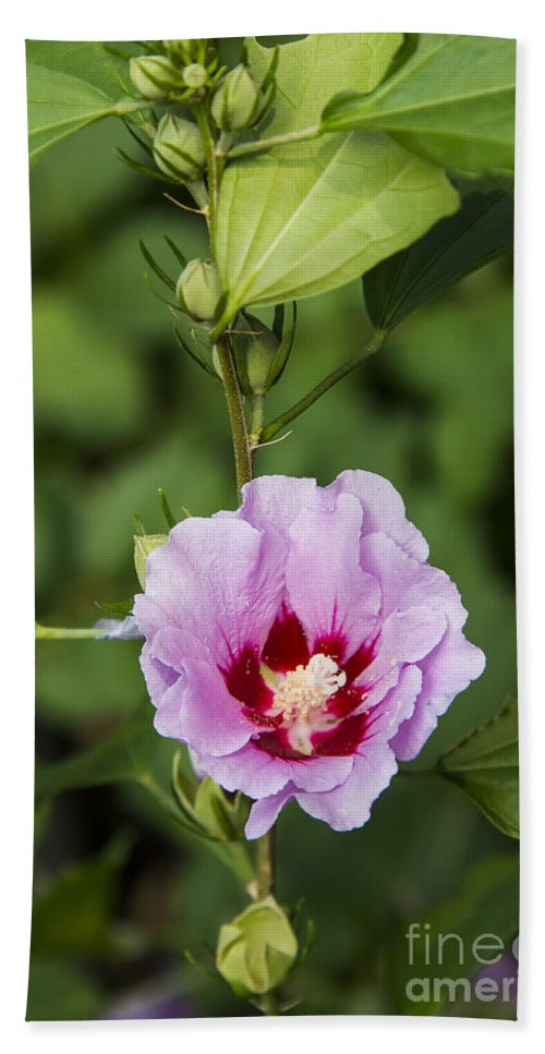 Rose Of Sharon Roses Flower Flowers Bud Buds Bath Sheet featuring the photograph Rose Of Sharon by Bob Phillips