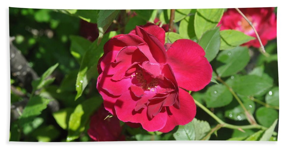 Rose Hand Towel featuring the photograph Rose On The Vine by Verana Stark